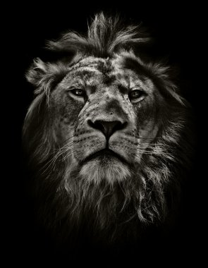 arrogant lion