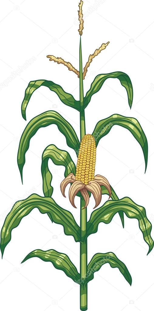 plant de ma u00efs de dessin anim u00e9 image vectorielle corn stalk clipart free corn stalk clip art bw