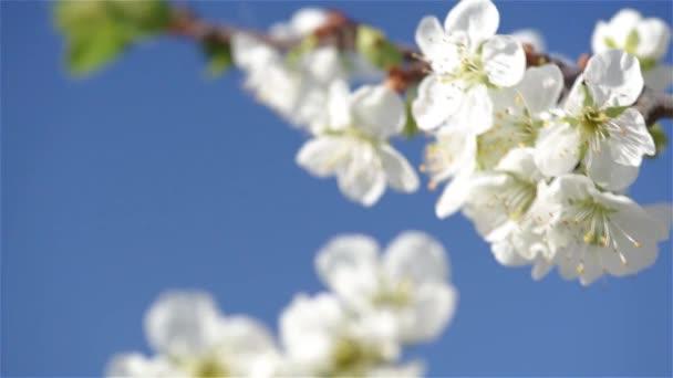 Švestkové květy