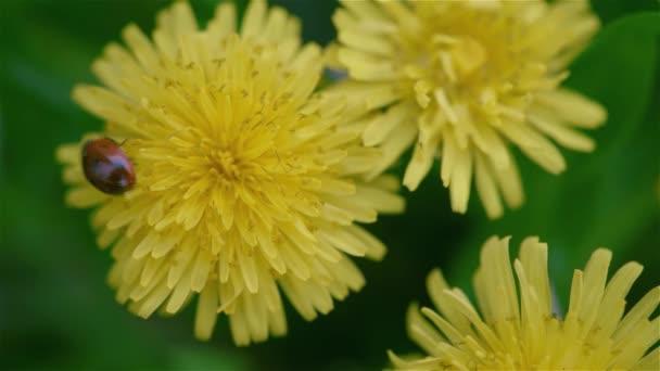 pampelišky květiny