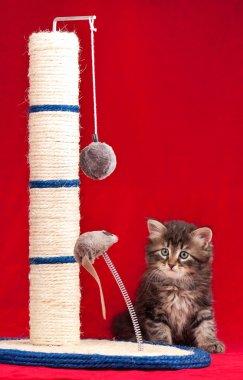 Curious siberian kitten