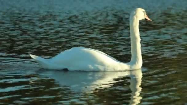 fehér hattyú a tavon