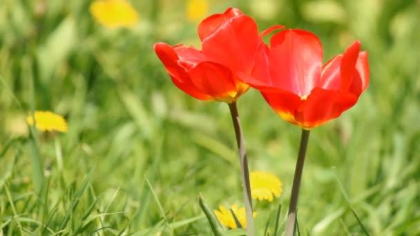 čerstvý jarní tulipány