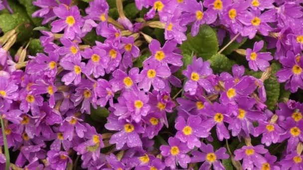 Květinové záhony s růžovými keři. Krásné fialové květy na jarní zahradě