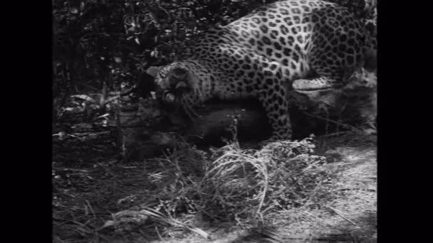 Leopard scratching its head on log