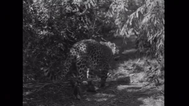 Leopard circling in jungle