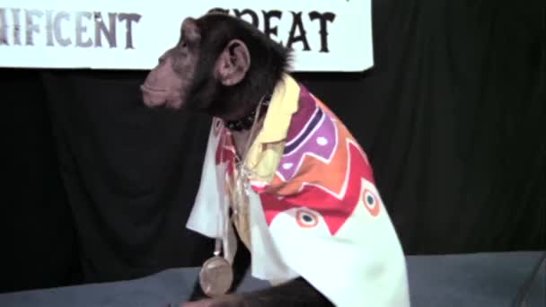Affe in Kap klatschen