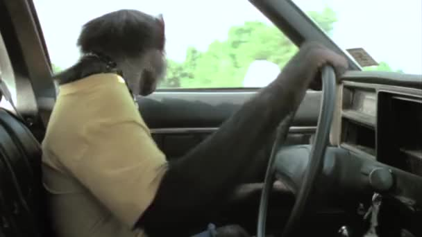 Monkey driving vintage car
