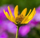 žluté sedmikrásky v létě