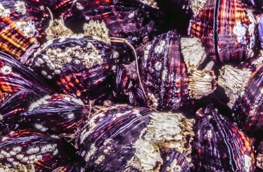 Mussels in bunches