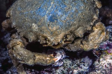 Mithraculus sculptus,green clinging crab,