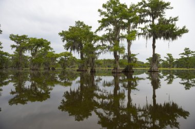 Classic Bayou Swamp Scene of the American South
