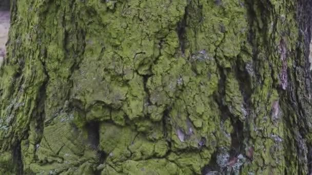 mech zelený na kůře stromu na severní straně textury dřeva