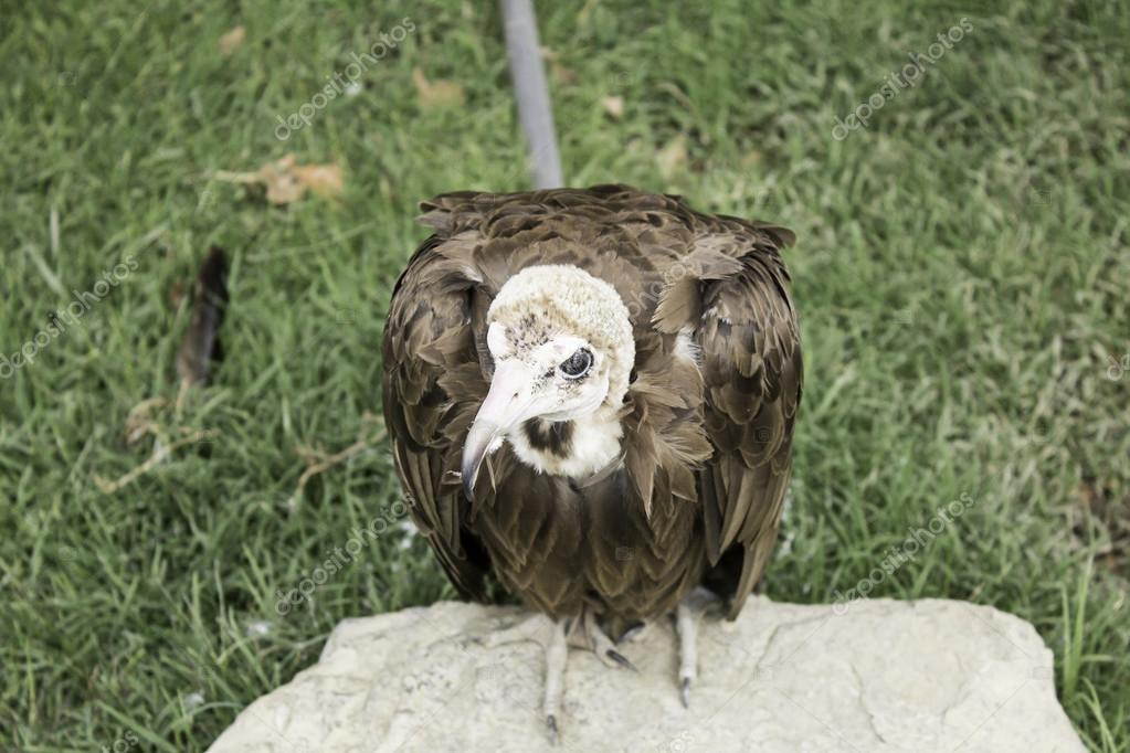 Small brown vulture