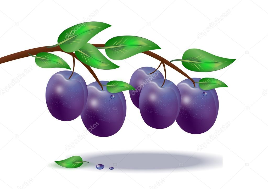 ripe plums on a tree branch on a white background