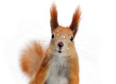 Quick squirrel