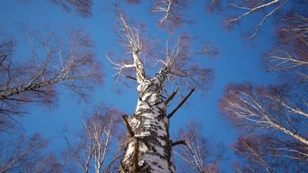 Kmeny bříz v zimě