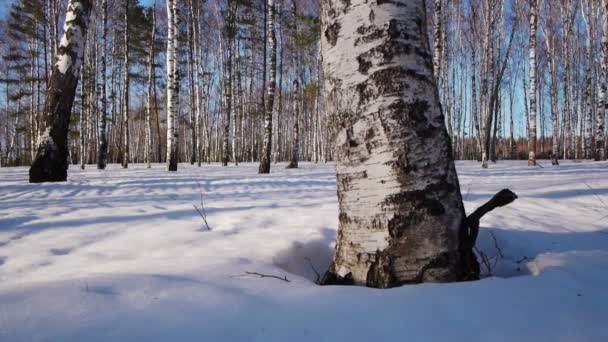 Trunks of birch trees in wintertime