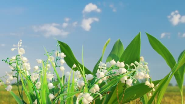 The lily of the valley on the cloud background