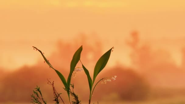 The lily of the valley on the sunrise background