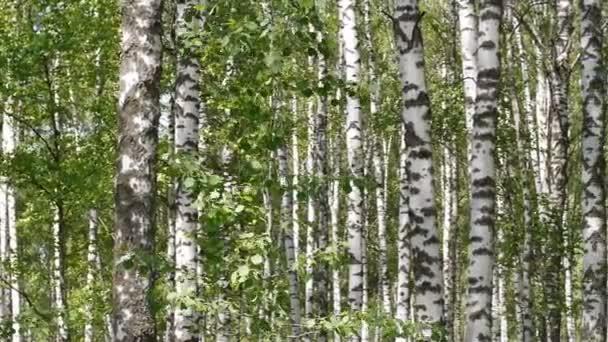 A nyári időszakban a nyírfa és