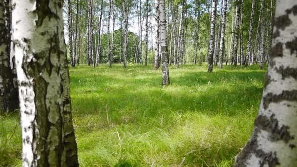 Tronchi di alberi di betulla in estate