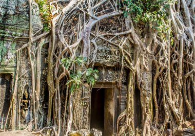 Ficus Strangulosa Banyan tree growing over a doorway in the anci