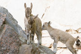 Fotografie Bergziege Babys auf Felsen