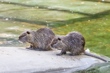 two otters on water background, in a zoo or in natural water