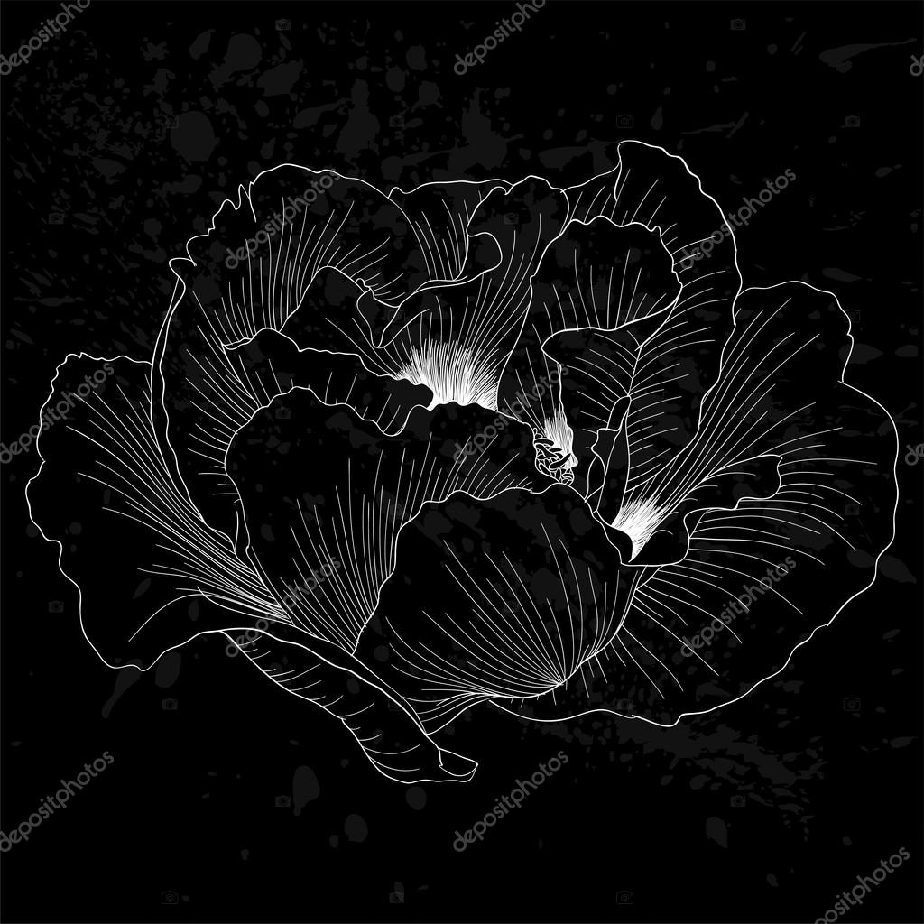 beautiful monochrome black and white Plant Paeonia arborea (Tree peony) flower isolated.
