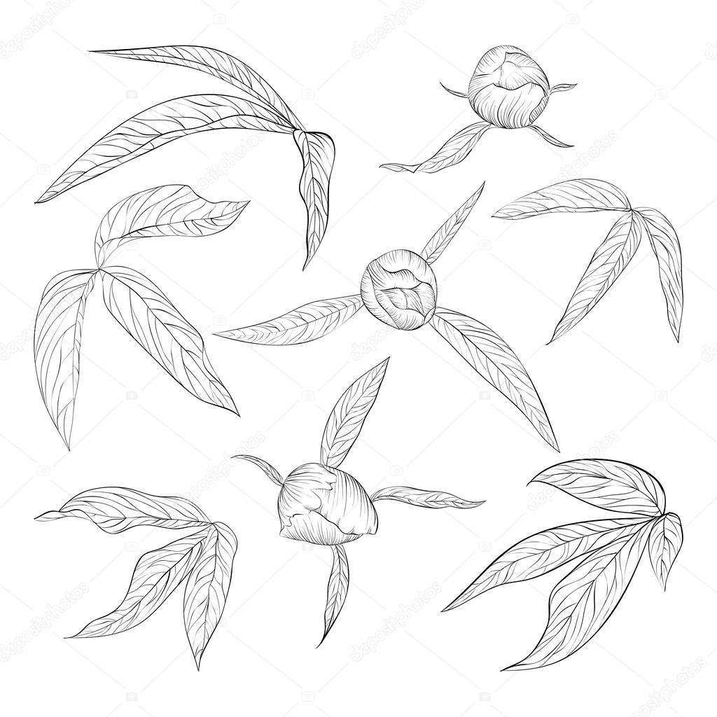 set of beautiful black and white peony leaves and buds isolated on white.