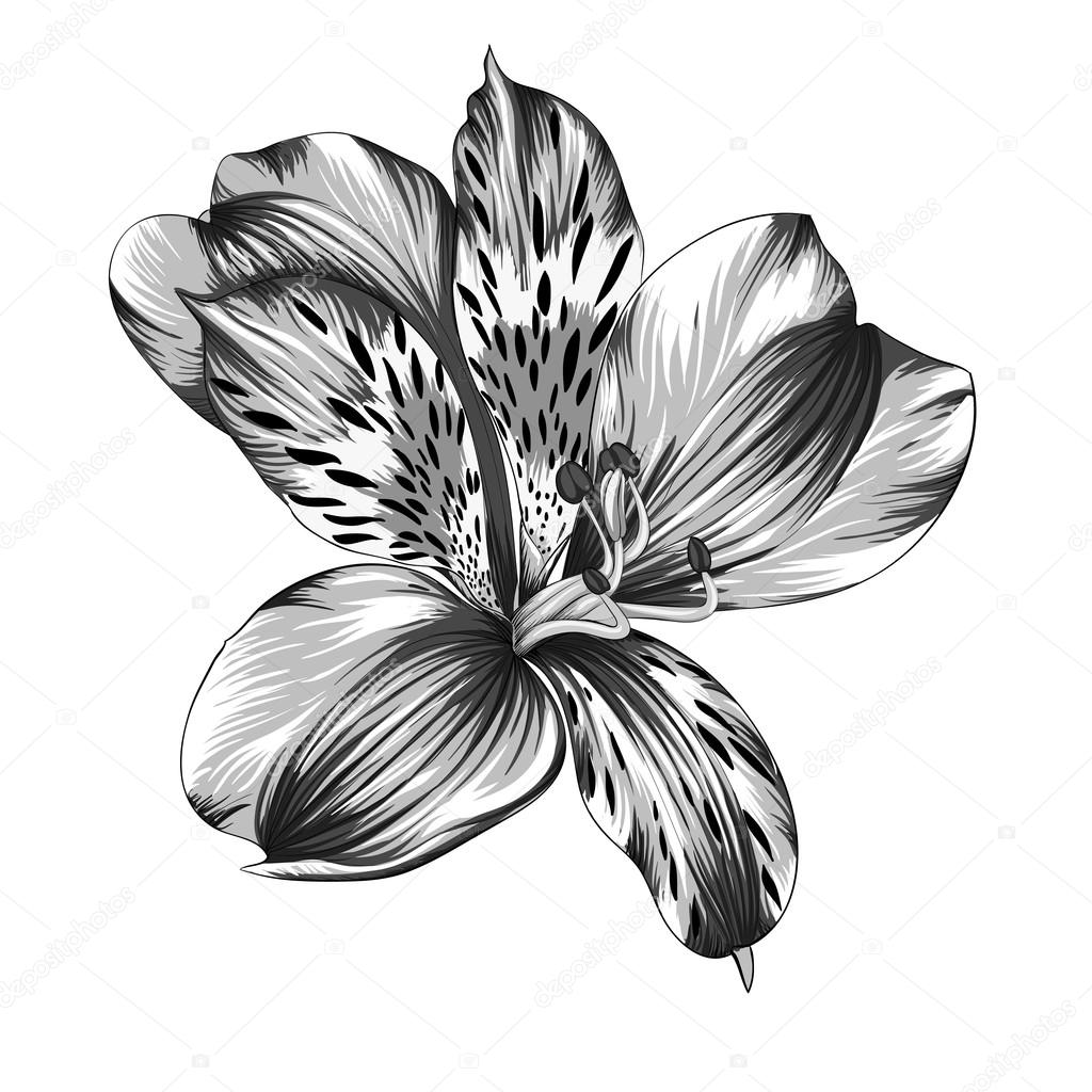 beautiful monochrome, black and white Alstroemeria flower with watercolor effect isolated on background.