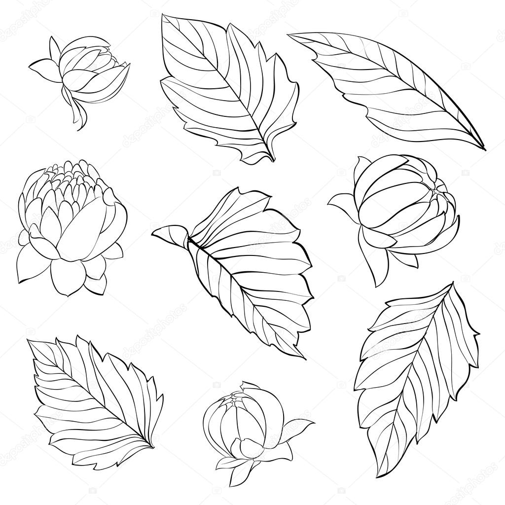 set of beautiful black and white dahlia leaves and buds isolated on background.