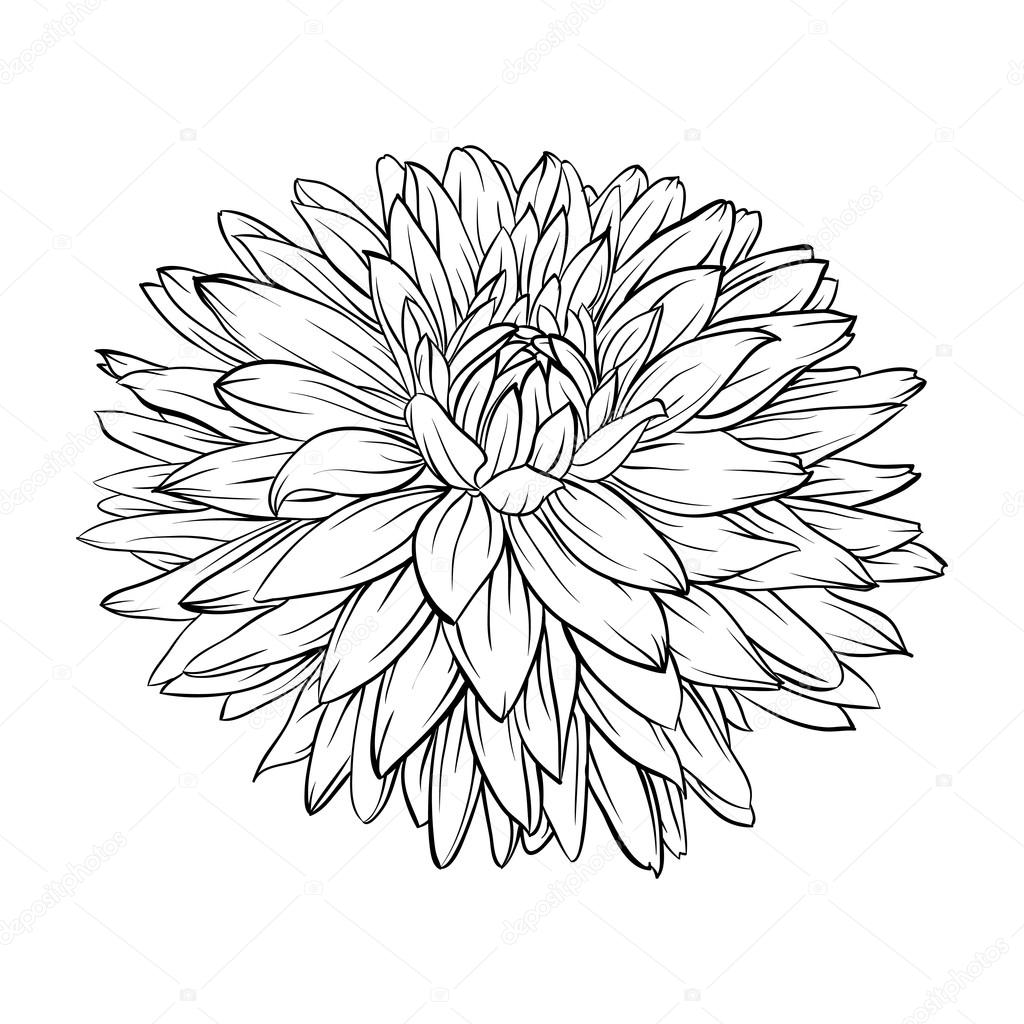 beautiful monochrome, black and white dahlia flower isolated. Hand-drawn contour lines and strokes.