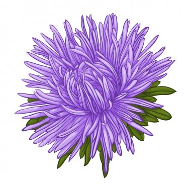 Beautiful blue aster isolated on white background.