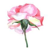 gyönyörű Rózsa akvarell festett elszigetelt fehér background