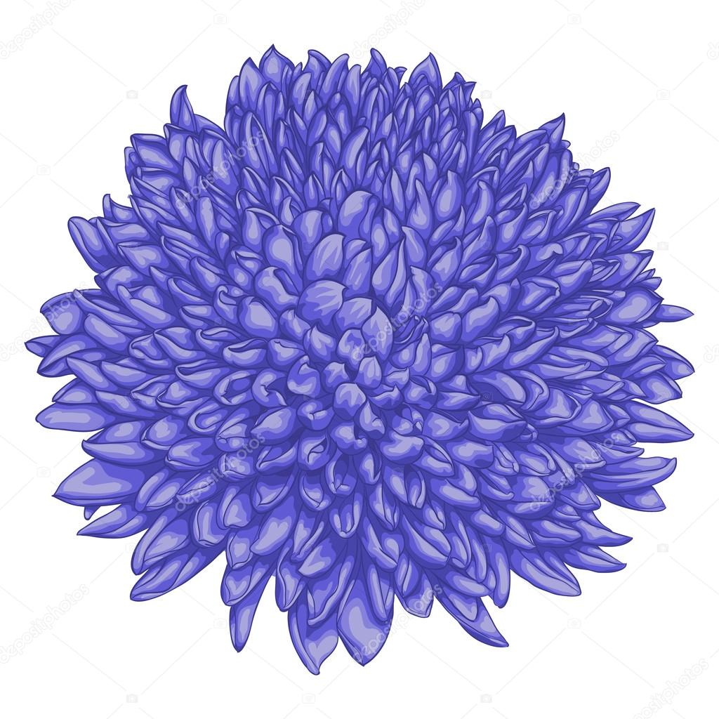 beautiful chrysanthemum isolated on white background.
