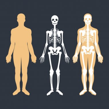 Human body and skeletal system flat illustrations set. Body silhouette, skeleton and bones inside body