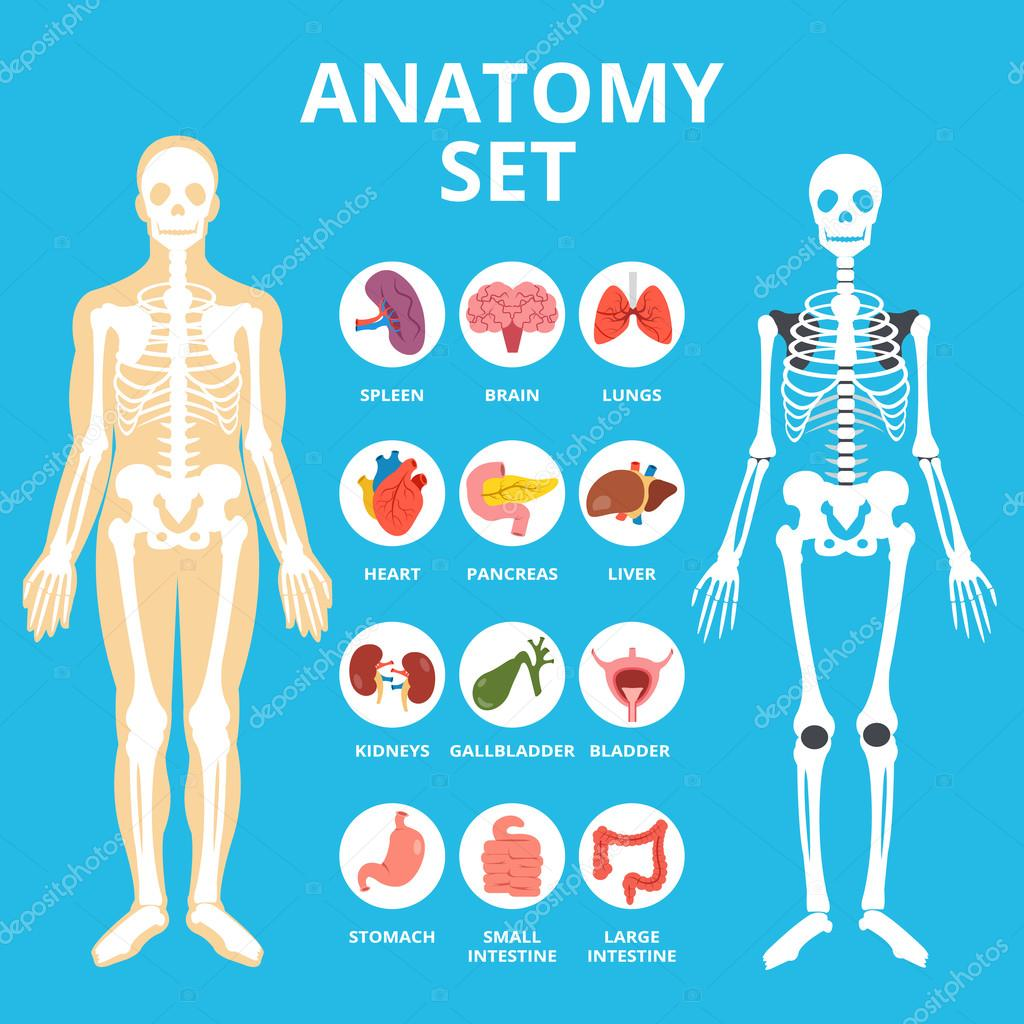 Anatomy set anatomy infographics human internal organs icons set anatomy set anatomy infographics human internal organs icons set body structure skeleton flat illustration graphic for web sites web banners ccuart Image collections