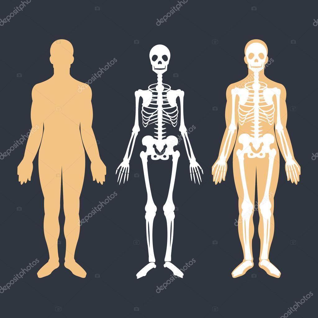 Der menschliche Körper und Skelett-System flach Illustrationen ...