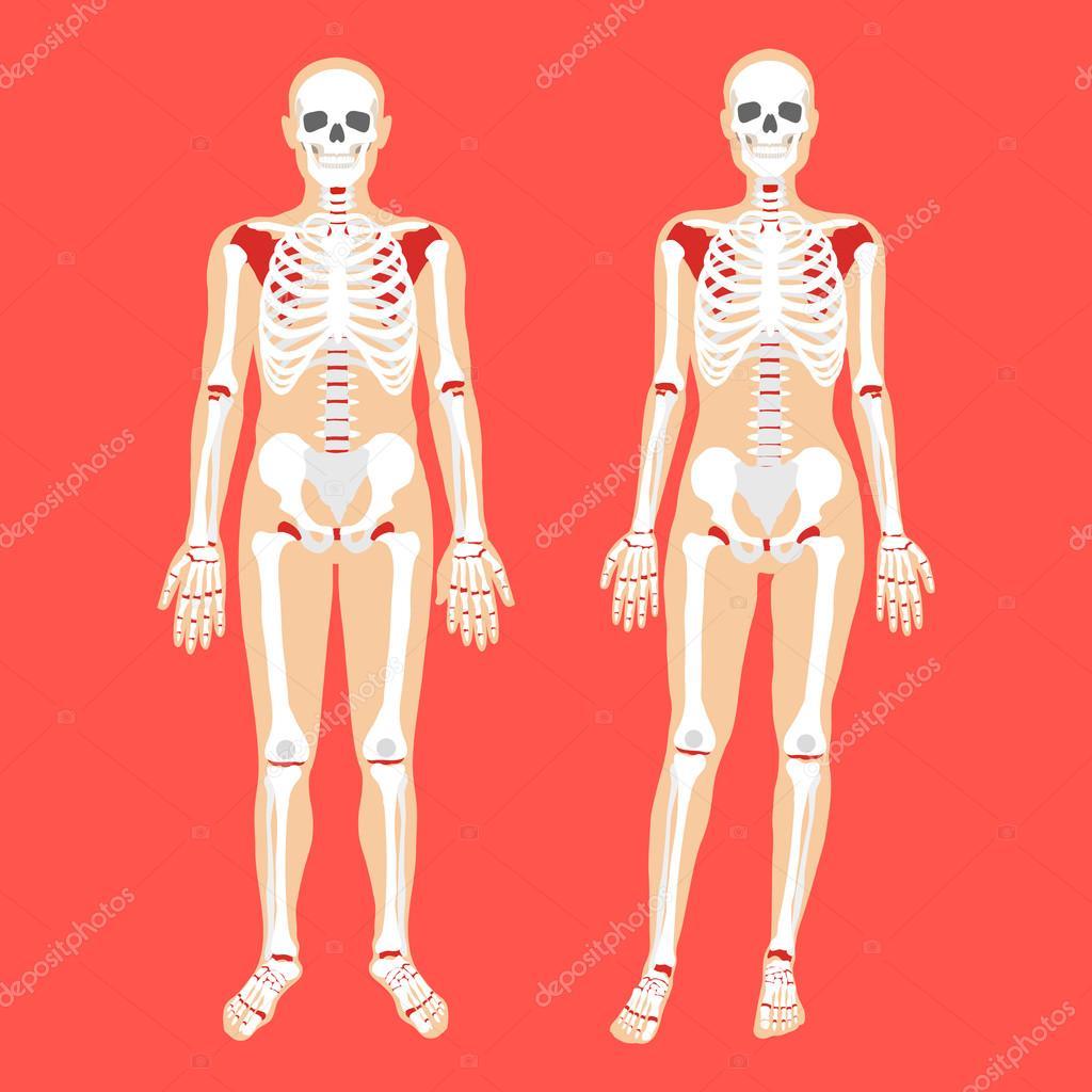 Menschliche Anatomie und Skelett-Systems. Weibliche und männliche ...
