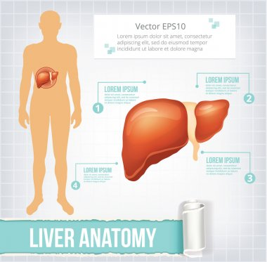 Vector liver infographics banner illustration