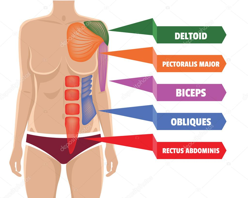 Ilustración de vector anatomía los músculos — Vector de stock ...