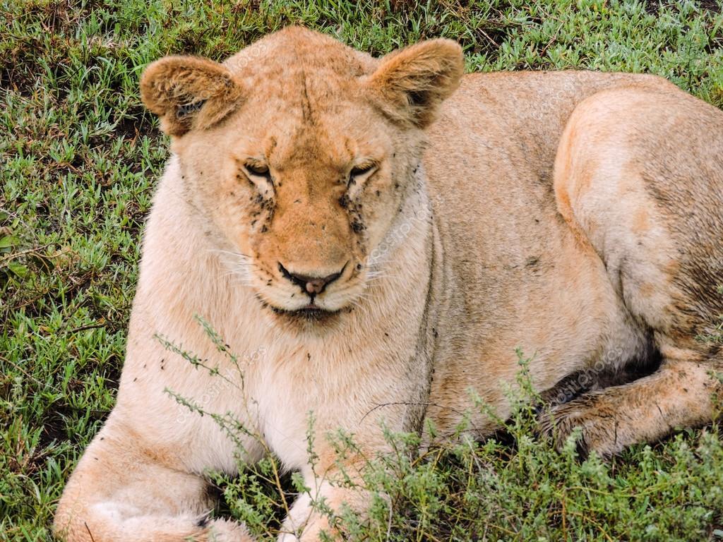 MI BLOC, QUE NO BLOG - Página 23 Depositphotos_109849838-stock-photo-lioness-resting-on-the-serengeti