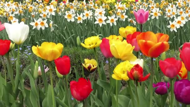 Colorful tulips blooms