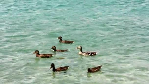 kachny na jezeře