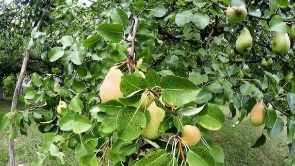 hrušky ovoce