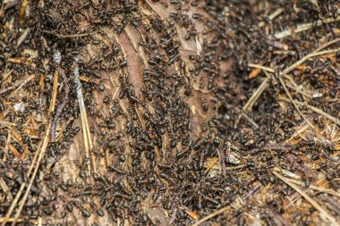 Ants colony  in the rotten tree