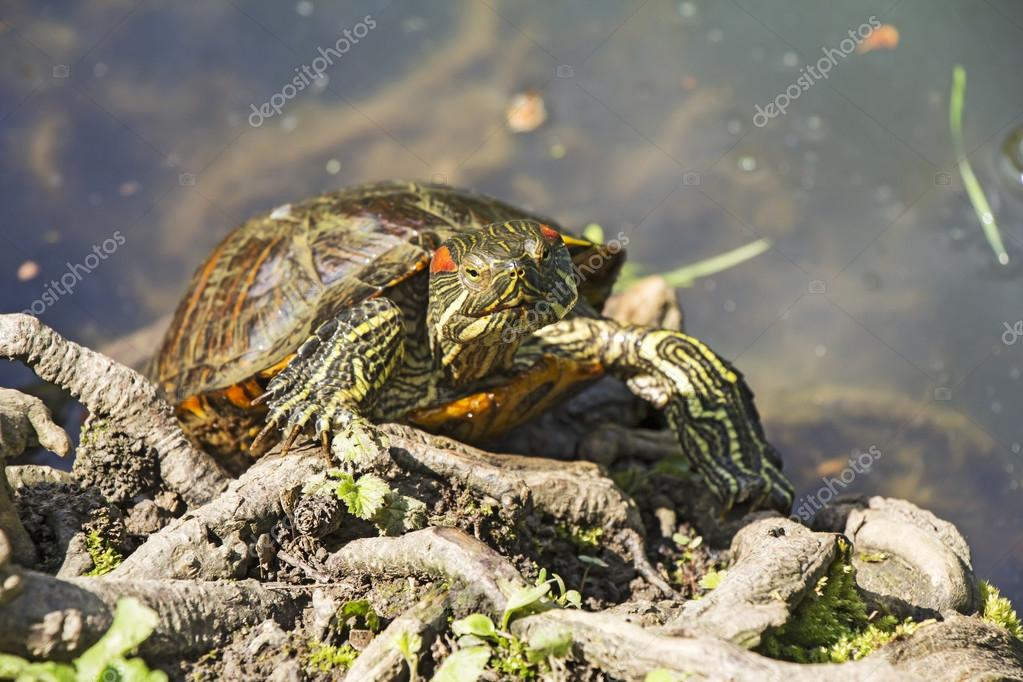 Red Eared Turtle