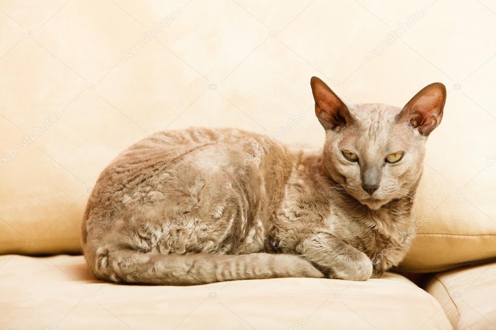 Zwierzęta W Domu Kot Egipski Mau Zdjęcie Stockowe Voyagerix